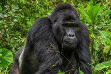 Studi: Gara-gara Selfie, Turis Bisa Tularkan Covid-19 ke Gorila
