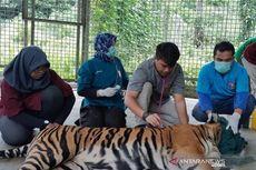 Salah Satu Penyebab Harimau Inung Rio Mati adalah Penyakit Radang Paru