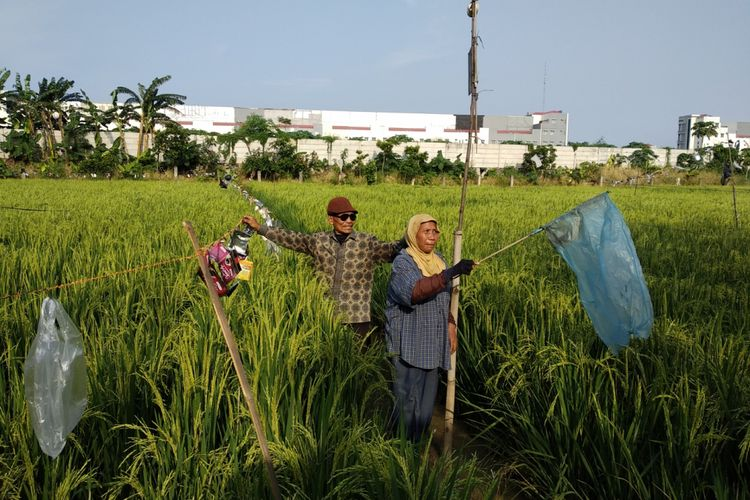 Usup (70) dan Oti (52) berusaha mengusir hama burung yang menyerang padi mereka di lahan persawahan dekat BKT, Jakarta Timur, Rabu (14/3/2018)
