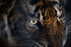 Sembunyi di Atas Pohon, Lima Warga Ditunggui Harimau Hampir 3 Jam, Selamat karena Petasan