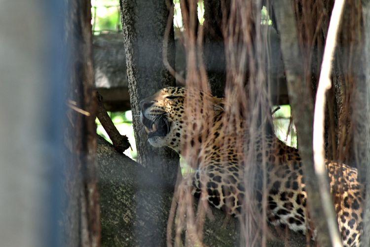 Salah satu macan tutul koleksi Kebun Binatang Bandung atau Bandung Zoological Bandung (Bazoga) sedang bertenger di dahan pohon besar di kandangnya.