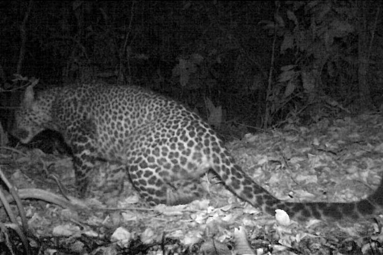 Macan tutul jawa terekam kamera trap sedang berkeliaran di Gunung Sanggabuana, Karawang, Jawa Barat, oleh tim Sanggabuana Wildlife Expedition bersama Wakil Ketua Komisi IV DPR RI Dedi Mulyadi, Jumat (17/9/2021) lalu.