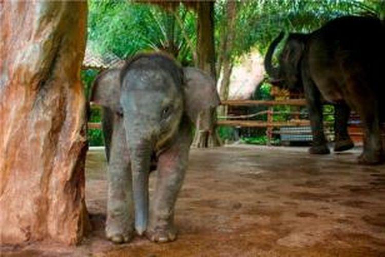 Bayi gajah di Bali Safari & Marine Park.