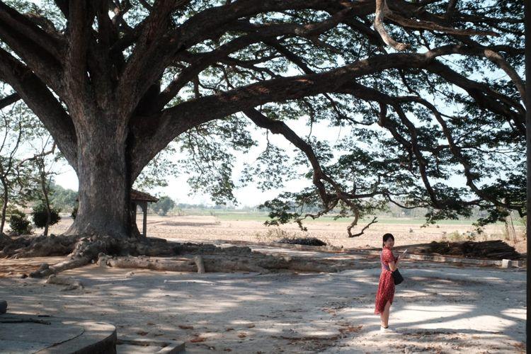 pohon trembesi di Desa Karasjajar, Lasem, Jawa Tengah