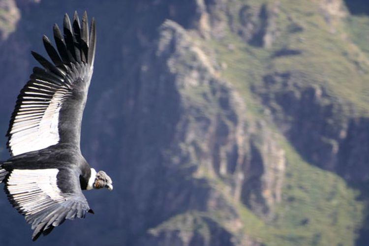 Mirador Cruz del Condor di Peru menjadi tempat favorit wisatawan untuk melihat aktivitas burung kondor.