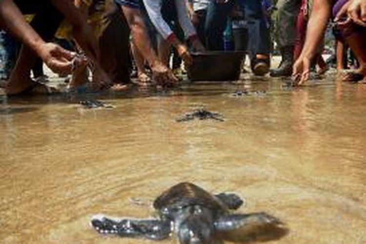 Menteri Kehutanan melepaskan 200 tukik di Pulau Merah Banyuwangi Jumat (23/05/2014)