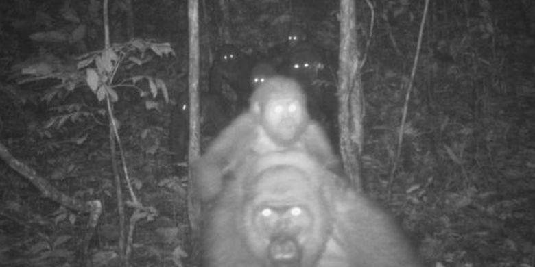 Momen Gorila Terlangka Di Dunia Gendong Bayinya Halaman All Kompas Com