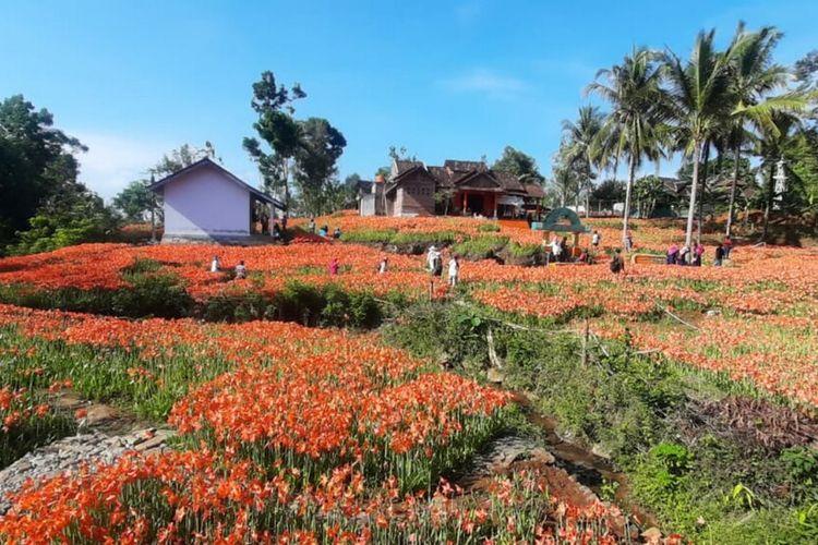 Kebun Bunga Amarilis di Patuk Gunungkidul Kamis (29/10/2020)