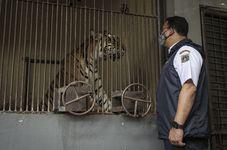 Two Sumatran Tigers in Indonesian Zoo Contract Covid-19