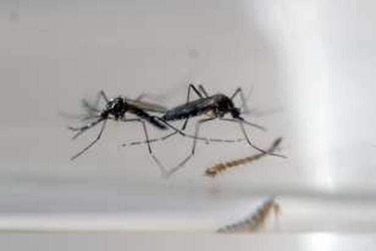 Nyamuk Aedes Aegypti.