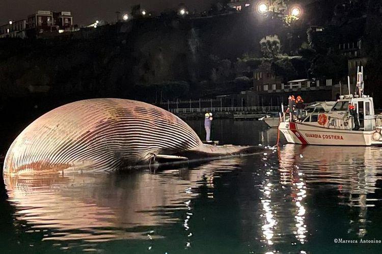 Paus sirip (Balaenoptera physalus) ditemukan mati di dekat pelabuhan Sorrento Italia awal pekan ini. Panjang paus itu diperkirakan sekitar 20 meter dan kemungkinan beratnya lebih dari 77 ton. Ini adalah salah satu bangkai terbesar yang pernah ditemukan di Laut Mediterania.