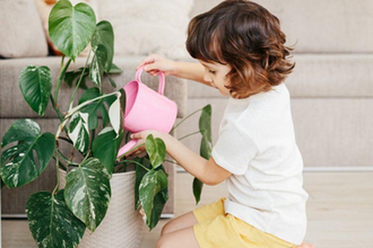 Ilustrasi menyiram tanaman hias Monstera variegata.