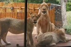 6 Singa Bertamu di Teras Kejutkan Pemilik Rumah