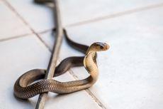 Dua Ular Kobra Masuk Rumah, Warga Pangkalan Jati Panik dan Panggil Damkar