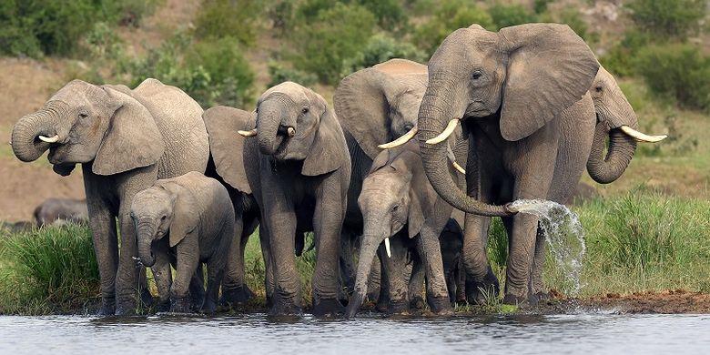 Ilustrasi sekelompok gajah Afrika.
