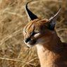 5 Fakta Menarik Kucing Caracal yang Harganya Bisa Mencapai Rp150 Juta