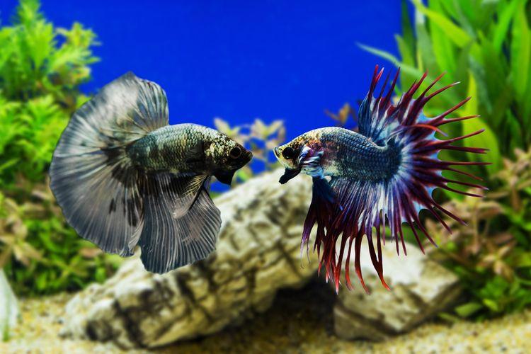 Jenis Jenis Ikan Cupang Yang Perlu Diketahui Sebelum Mengoleksi Halaman All Kompas Com