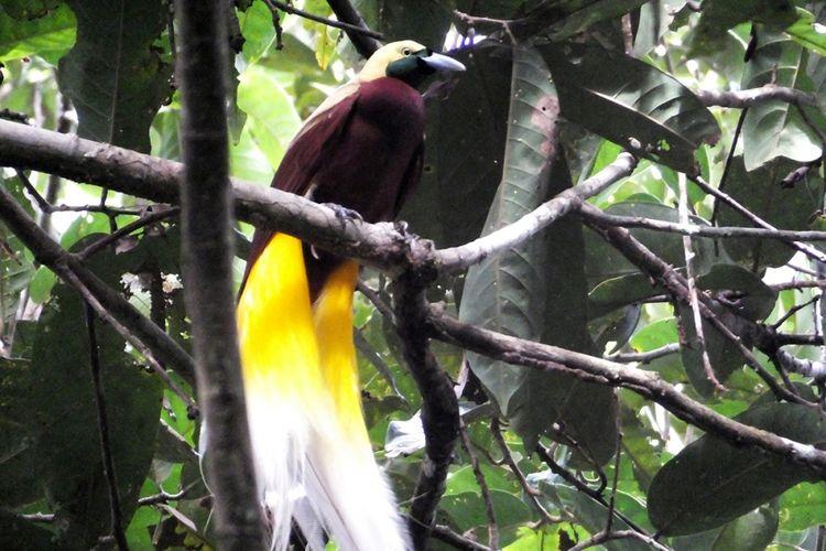 Seekor bird of paradise atau yang dikenal lokal sebagai burung cenderawasih, terlihat di Desa Malagufuk, Sorong, Papua, Rabu (23/8/2017). Papua adalah rumah bagi sepertiga hutan hujan yang tersisa di Indonesia, namun perburuan dan penggundulan hutan yang merajalela telah menghancurkan populasi burung di banyak hutan di Papua.