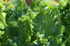 Sering Dibuat Sayur, Ini 5 Manfaat Tanaman Kailan bagi Kesehatan