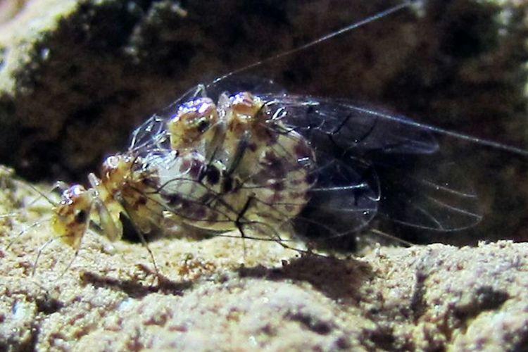 Neotrogla, serangga gua yang alat kelaminnya bertukar. Betina punya penis, jantan punya vagina