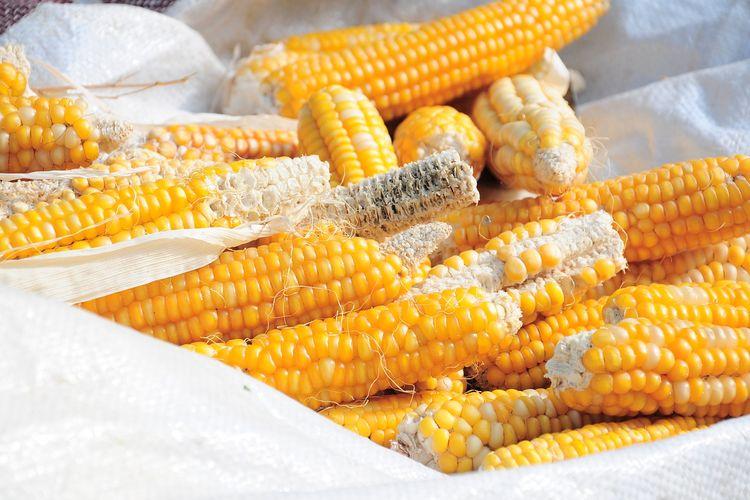 Ilustrasi proses penjemuran jagung.