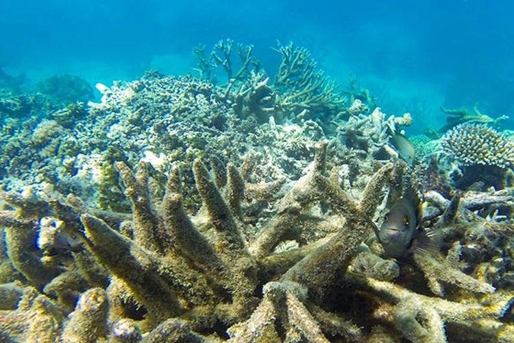 Terumbu karang di Great Barrier Reef yang memutih seiring naiknya suhu laut akibat pemanasan global dan perubahan iklim.