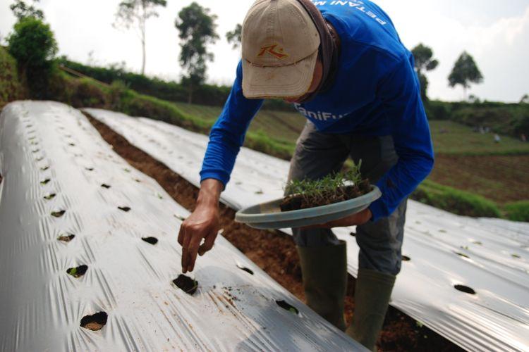 Seorang petani tengah bekerja di perkebunan di Pangalengan, Kabupaten Bandung.