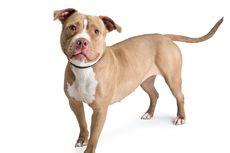 Seekor Anjing Pit Bull Mati Digigit Ular demi Lindungi Anak-anak Pemiliknya