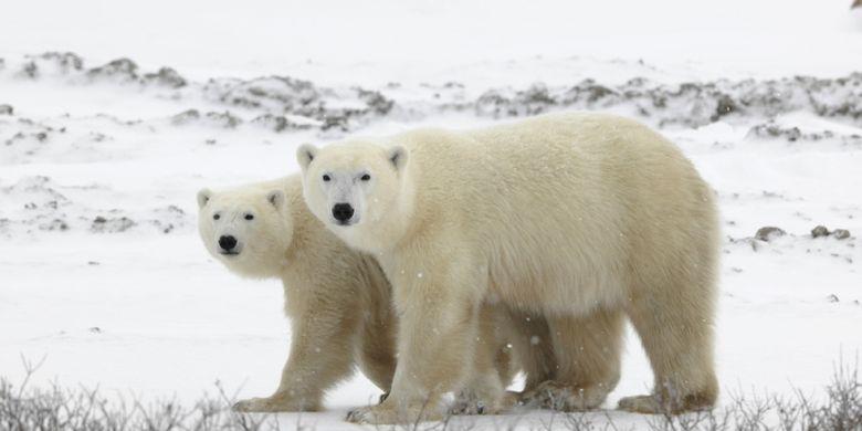 Ilustrasi beruang kutub. (Shutterstock)