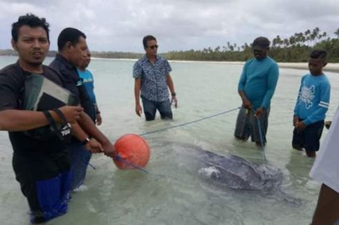 Warga Maluku Tenggara Selamatkan Seekor Penyu Raksasa yang Terjerat