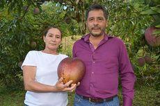 Mangga Terberat di Dunia Ditemukan di Kolombia