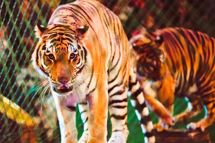 Ilustrasi harimau sirkus.