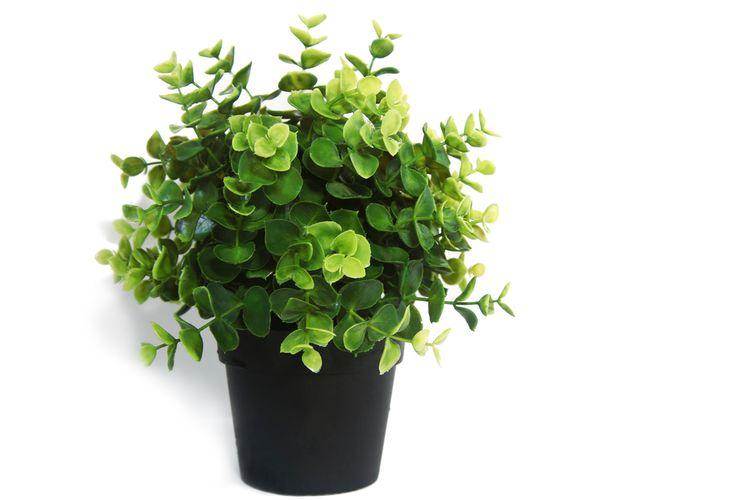 Ilustrasi tanaman eucalyptus di dalam pot.