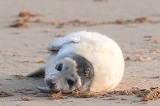 Saat Lockdown Nasional, Sekitar 2.000 Anak Anjing Laut Lahir di Norfolk, Inggris