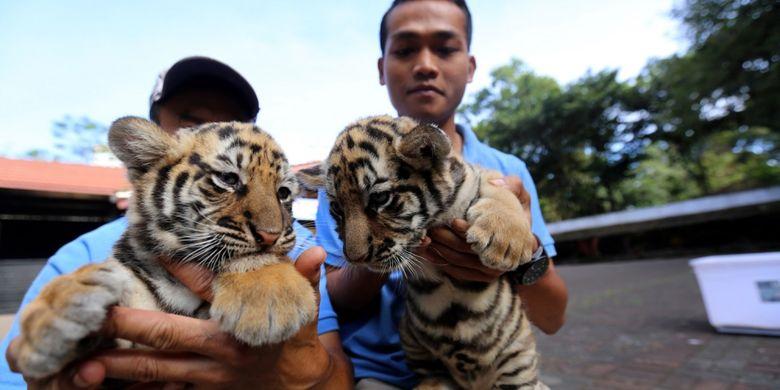 Petugas satwa menjemur bayi harimau benggala di Kawasan Kebun Binatang Bandung, Jalan Tamansari, Jawa Barat, Jumat (4/8/2017). Dua bayi harimau yang belum memiliki nama itu lahir secara normal pada 25 Juni 2017 dari hasil perkawinan induk pasangan Shah Rukh Khan dan Sila.