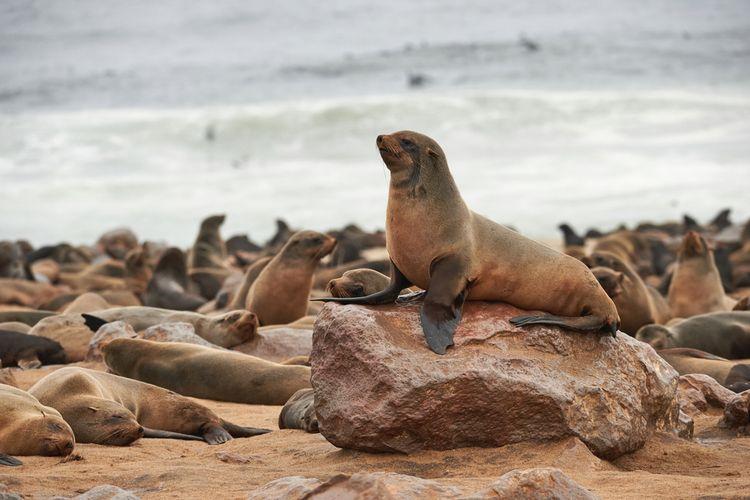 Koloni anjing laut berbulu Cape di Namibia.