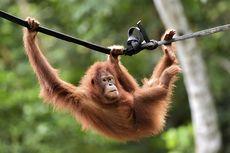 Dua Orangutan di Thailand akan Pulang Kampung ke Indonesia