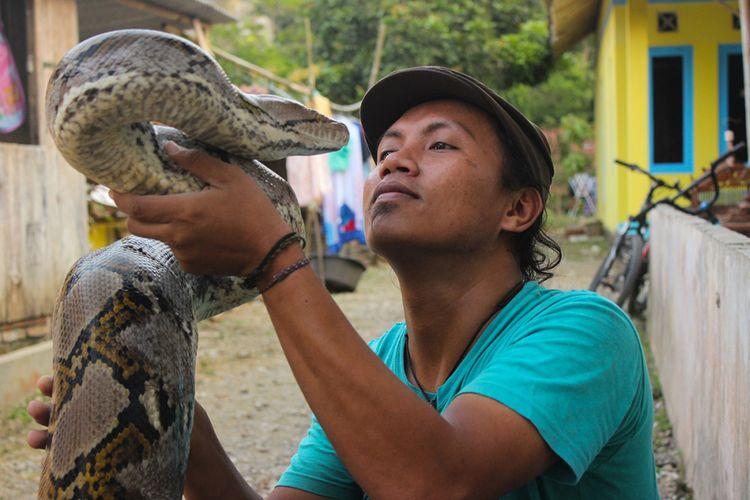 Munding Aji (30), pemuda asal RT 002, RW 001, Desa Gunungsari, Kecamatan Pejagoan, Kebumen, Jawa Tengah, saat bergumul dengan ular sanca batik (Pyton reticulatus) raksasa koleksinya, Kamis (21/6/2018). Sedikitnya ada 10 ular sanca raksasa yang dia koleksi dalam 10 tahun terakhir dengan tak kurang dari 100 ekor ayam dia berikan untuk pakan ular-ular koleksinya setiap bulannya.
