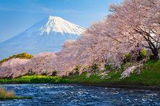 Bunga Sakura di Jepang Mekar secara Mengejutkan di Musim Gugur