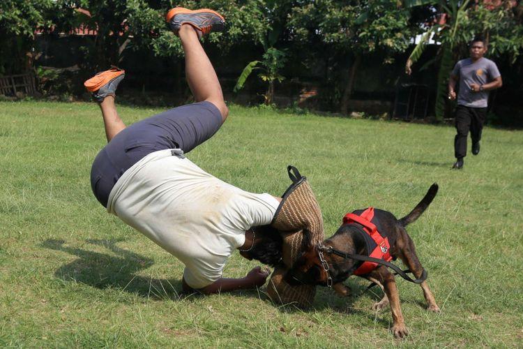 Anggota Unit Satwa K9 Polda Metro Jaya melatih anjing untuk menangkap pelaku kejahatan bagian umum, di Mako Satwa Direktorat Sabhara Polda Metro Jaya, Palmerah, Jakarta Barat, Jumat (29/06/2018). Kegiatan latihan ini bertujuan untuk meningkatkan kemampuan satwa anjing atau satwa K9 dalam melakukan pengamanan serta melacak keberadaan bahan peledak (handak), narkotika, dan pemecah massa.
