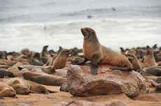 Diduga Kelaparan, Ribuan Anjing Laut di Namibia Mati Misterius