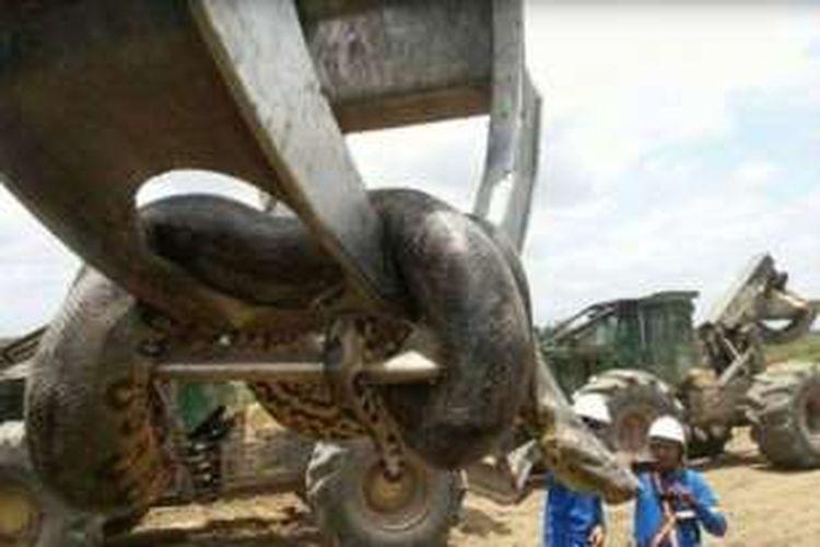 Begitu besarnya ular ini sehingga harus digunakan peralatan berat untuk memindahkannya.