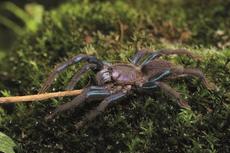 Spesies Baru Tarantula Ditemukan, Warna Kakinya Biru Toska