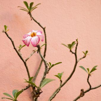 Ilustrasi bunga adenium