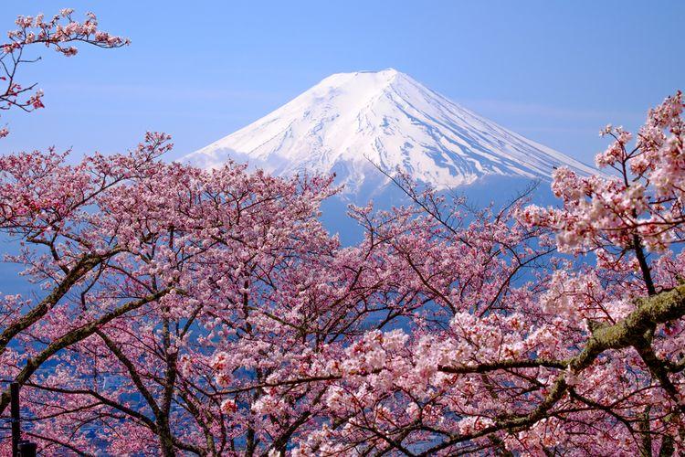 Pemandangan bunga Sakura yang bermekaran dan Gunung Fuji