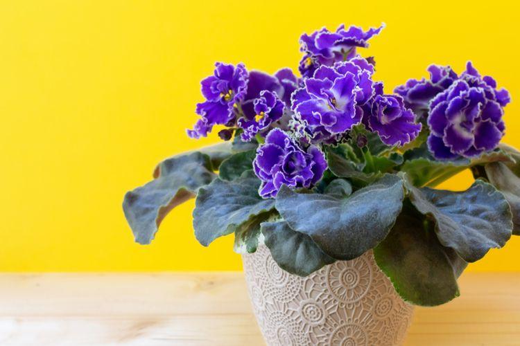 Ilustrasi tanaman hias african violet.