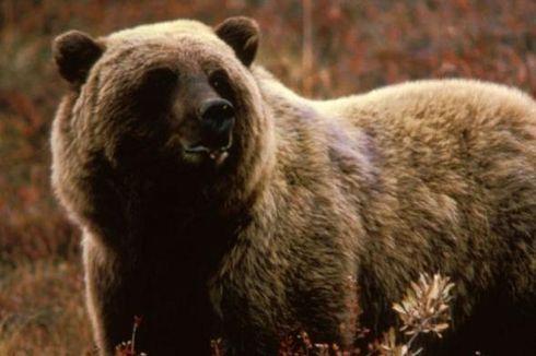 Polisi Montana Cari Beruang Grizzly yang Bunuh Pesepeda