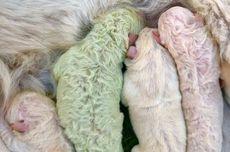 Langka, Anak Anjing Ini Lahir dengan Bulu Berwarna Hijau