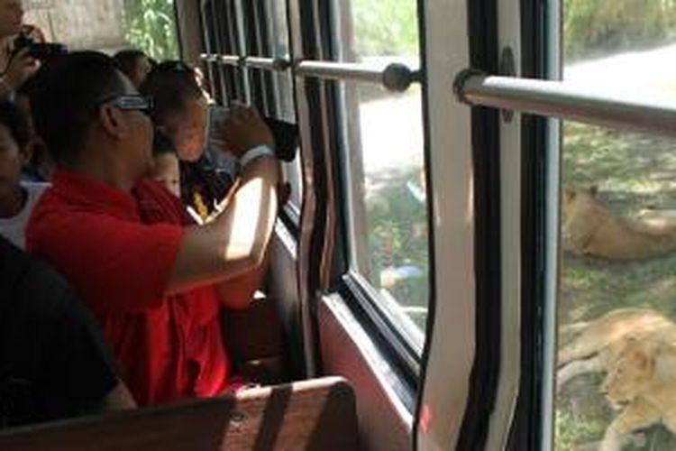 Pengunjung melihat singa dari dalam mobil di Bali Safari And Marine Park, Gianyar, Bali.