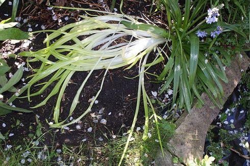 Apa Itu Etiolasi pada Tumbuhan?